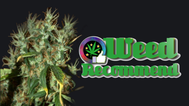 Mango Haze CBD – Recommended Cannabis Seed Strain