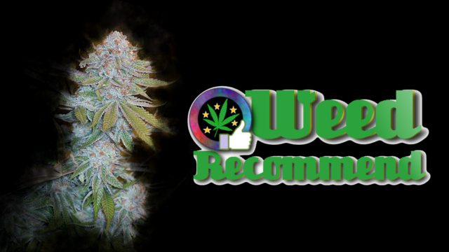 Chocolate Mint OG – Recommended High THC Cannabis Seed Strain