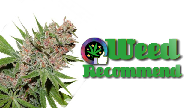 Passion Fruit - High THC cannabis seed strain recommended - Weed Recommend