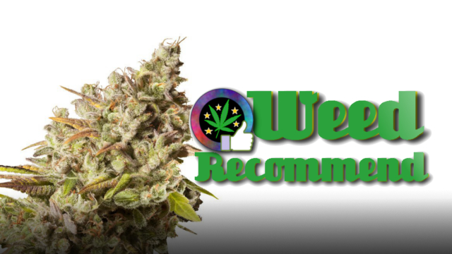 Royal Gorilla – Recommended High THC Cannabis Seed Strain