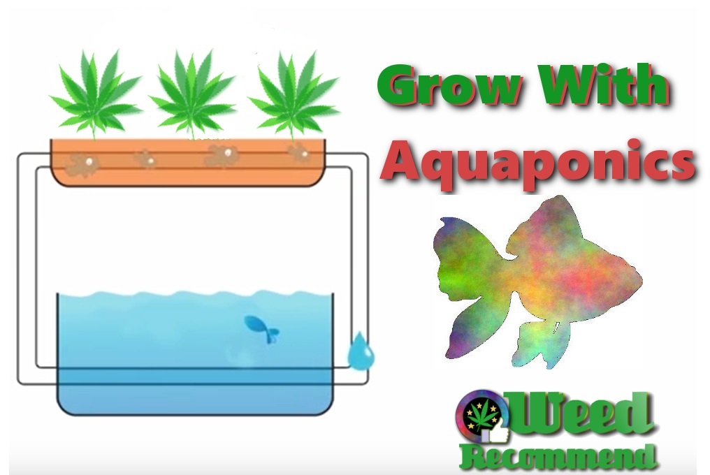 Aquaponics – Grow weed with fish poop?