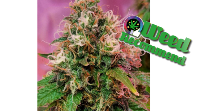 CBD OG Kush Feminised Seeds